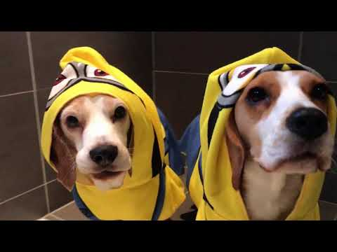 Funny Beagle Dogs in Minion Robes taking a Bath! Louie & Marie
