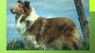 Презентация для детей по Доману. Собаки (породы)