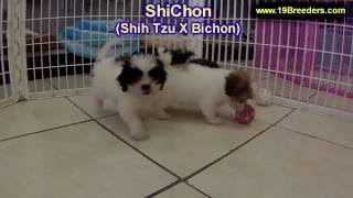 ShiChon, Puppies, For, Sale, In, Anchorage, Alaska,AK, Fairbanks, Juneau, Eagle River