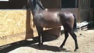 Andalusian mare ccs