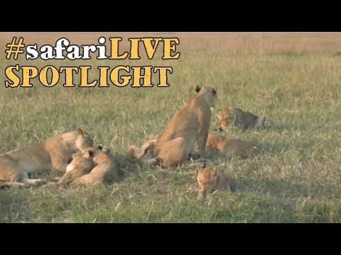 Thumbnail: safariLIVE takes a closer look at the lions of the Angama Pride.