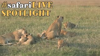 safariLIVE takes a closer look at the lions of the Angama Pride. thumbnail