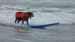 Surfer Dogs Hang 10 at the Loews Dog Surfing Imperial Beach video 5