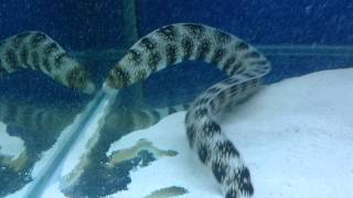 The biggest snowflake eel ever was grown in an Aqua One 620!