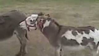 Mini Donkey Real Funny And Real Loud