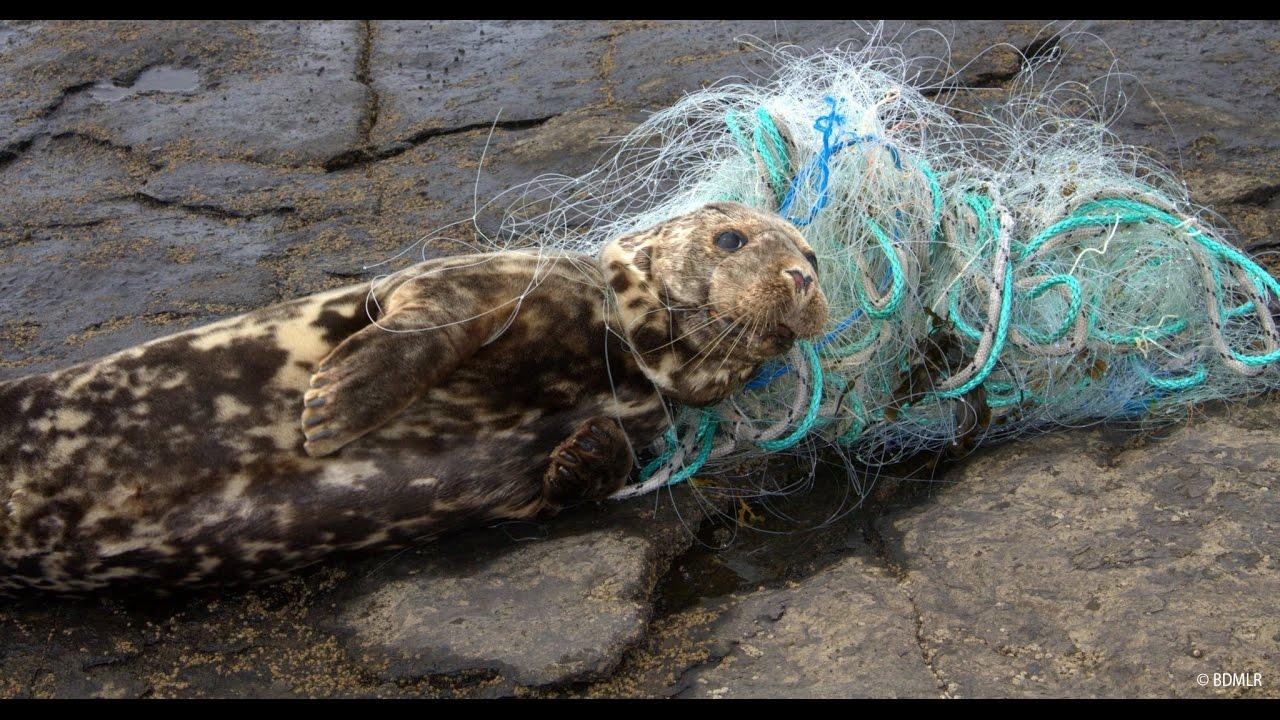 Bildergebnis für Robben in Plastik verheddert