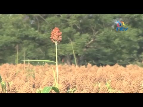 Changing tide: Farmers in Western turn to Sorghum amid drought