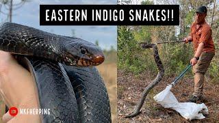 Eastern Indigo Snake Survey! (And a HUGE Diamondback)