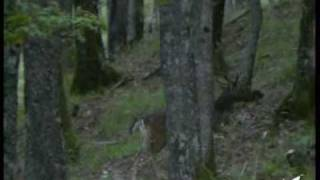 Download Video Male sub-adult and adult of Fallow deer MP3 3GP MP4