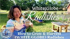 HD How to Grow White Globe Radishes by Direct Sowing