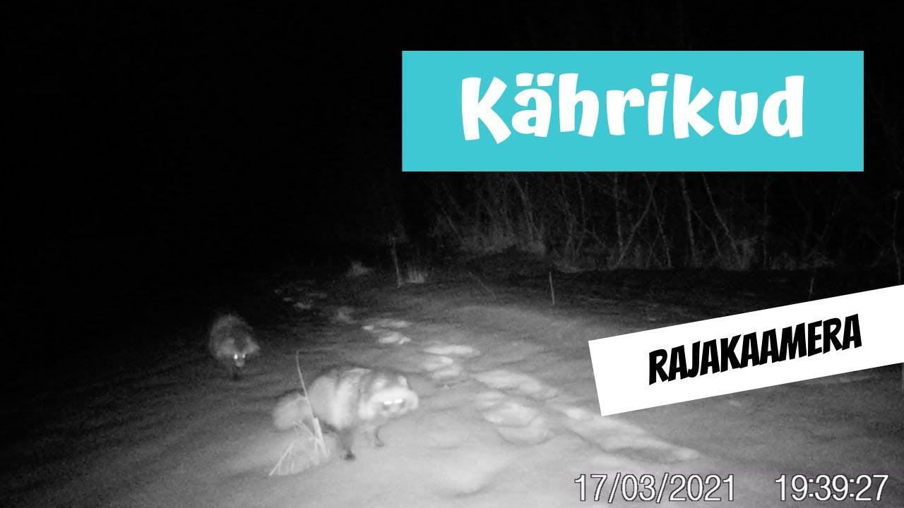 Kährikud (Nyctereutes procyonoides; Raccoon dog)... rajakaamera video