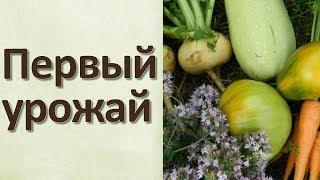 Урожай первых овощей Огурцы Томаты Морковь Кабачки