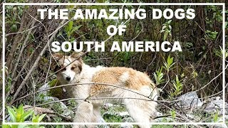 The Amazing Free-Range Dogs of South America