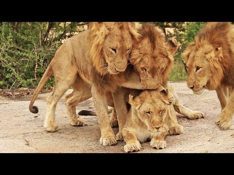 3 Male Lions Go For 1 Lioness!