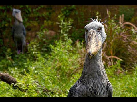 Natural Selections: The stork that is a pelican
