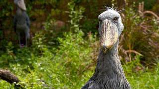 Introducing the Shoebill Storks!