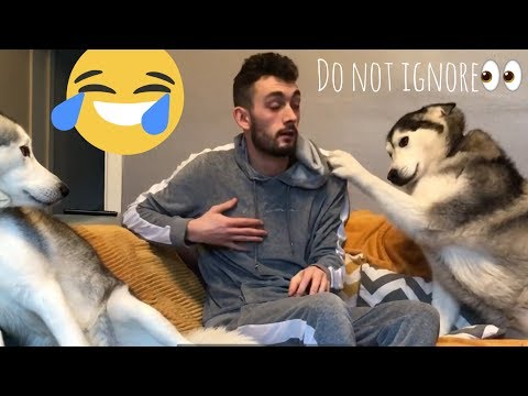 My Husky gets so Angry and Jealous!!!... (I DIDN'T EXPECT THAT!!)
