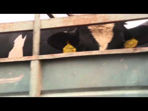 EU dieren op transport naar gruwelijke slacht in Gaza