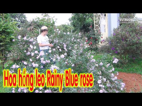 Rainy Blue rose