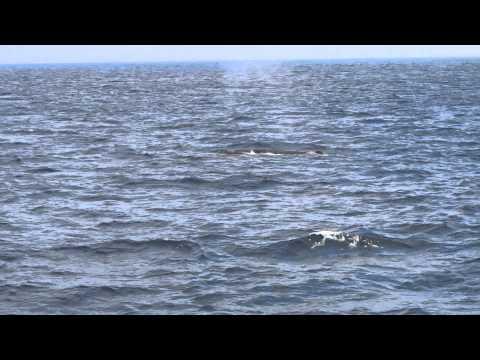 Tim Conway Jr - Humpback whale feeding frenzy off San Diego's coast