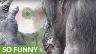 Chimpanzee fascinated by her reflection in CD