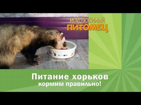 Как кормить хорька в домашних условиях