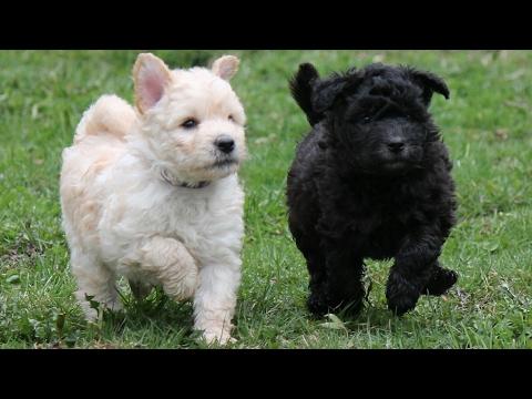 Pumi (dog)