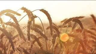 Golden Wheat Blowing in the Wind - Royalty Free HD Video Stock Footage