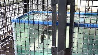 コツメカワウソの水中なかよしダンス(東武動物公園Tobu Zoo ) thumbnail