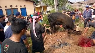 Download Video Qurban Berdarah. Tragedi Jatuhnya Sang Ustadz, Akibat Hantaman Sapi Lemosin. MP3 3GP MP4