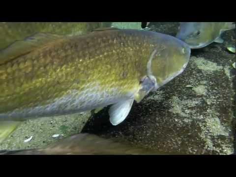 Red Drum And Black Drum Fish, Underwater Footage!