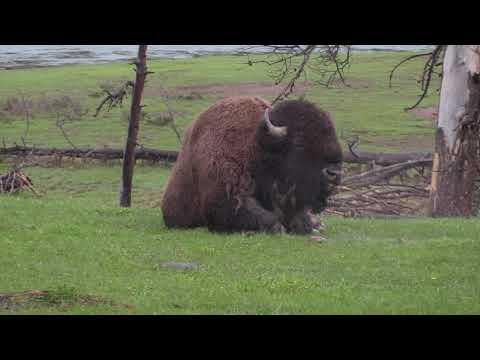 Yellowstone N.P. Bison (Part Two) with Travel Art - May 2018