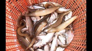 Cá chạch dính đầy lưới, gỡ mõi tay - Khám phá vùng quê