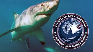 Operation Apex Harmony: Juvenile tiger shark caught on drum line at Point Cartright Queensland