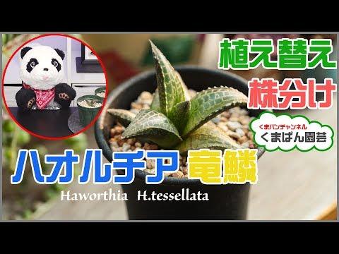 ハオルチア 竜鱗の植え替え・株分け・育て方多肉植物くまパン園芸
