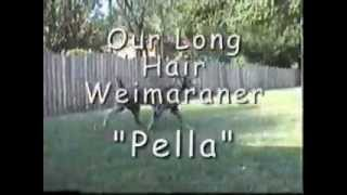 "Longhair Weimaraner ""pella""  Playing Frisbee"