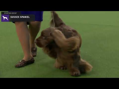 Spaniels (Sussex) | Breed Judging 2020