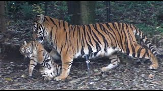 子供を口にくわえて運ぶ、スマトラトラの母親デル (よこはま動物園ズー...