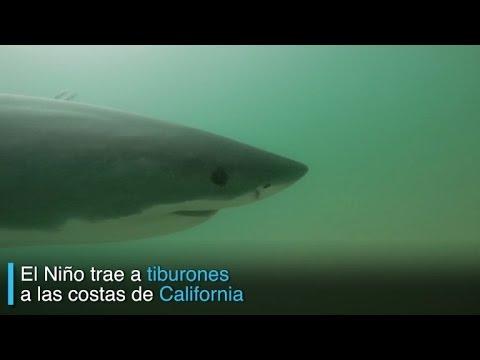 El Niño trae tiburones a las costas de California