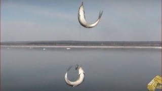Рыбалка на Енисее ловим рыбу елец. Наживка веснянка Лесосибирск 24 апреля 2017