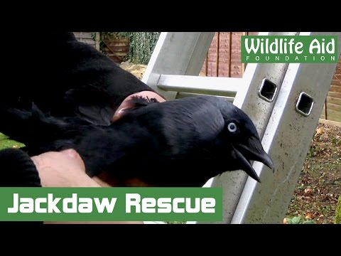 Clumsy Jackdaw Traps Itself in Tree