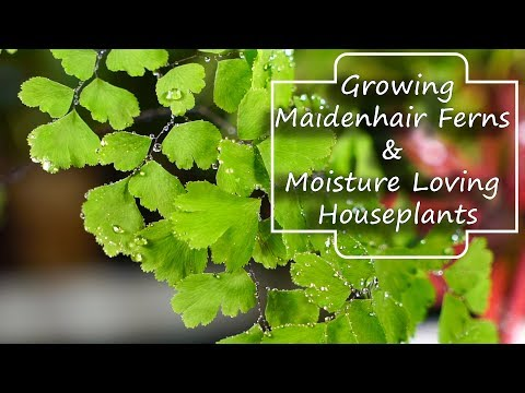 Growing Maidenhair Ferns & Moisture Loving Houseplants - Adiantum