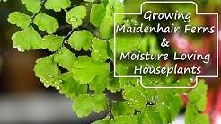 Growing Maidenhair Ferns & Moisture Loving Houseplants - Adiantum