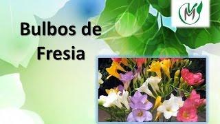 Plantando Bulbos De Fresia - Vivero Marra