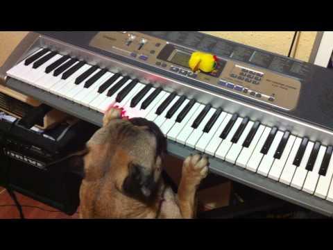 French Bulldog playing the piano