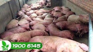 Ngăn chặn nguy cơ bệnh dịch tả lợn Châu Phi vào Việt Nam   VTC16