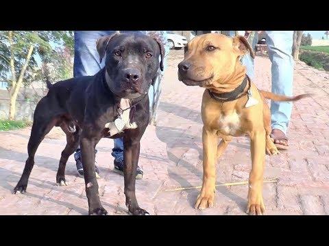 American Bully Pitbull  Siberian Husky Breeder Garry Brar Muktsar