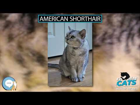 American Shorthair 🐱🦁🐯 EVERYTHING CATS 🐯🦁🐱