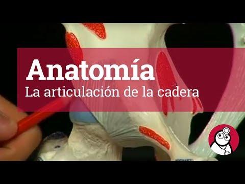 Anatomía: La articulación de la caderaиз YouTube · Длительность: 9 мин31 с