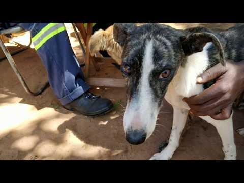 Rural Animal Care - VAWZ vaccination day 18.01.2018 Zimbabwe, Harare 4K